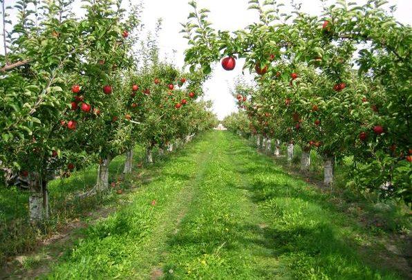 Gelendost'ta Satılık Elma Bahçeleri
