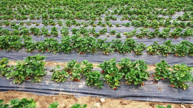 Aksu'da Yayla Çileği Üretimi Artmaya Devam Ediyor